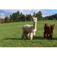 Alpacas of Breezy Hill Ranch