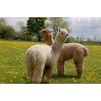 Buck Brook Alpacas