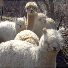 Rock Ridge Alpacas